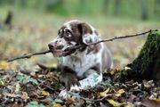 Leopard Labrador Dog Welpen Aussiedor