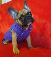 Französischen Bulldoggen Welpen ein Rüden