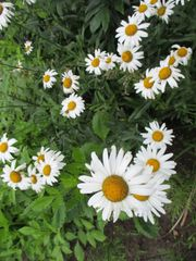 Mehrjährige Margitenpflanzen Blütezeit Ende Juni-Juli