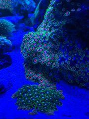 Meerwasser Krusten Korallen Ableger