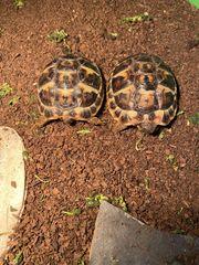 2griech Landschildkröten incl Zubehör