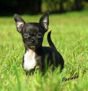 Typvolle fröhliche kleine Chihuahua WelpeN
