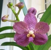 Knospige blühende Vanda Orchidee