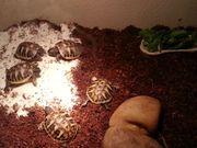 griech griechische Lanschildkröten Babys Testudo