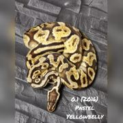 0 1 yellow belly pastel