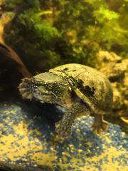 Moschusschildkröte kleine Wasserschildkröte Aquariumhaltung