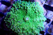 Korallen 15 Ableger