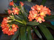 Clivia Zimmerpflanze