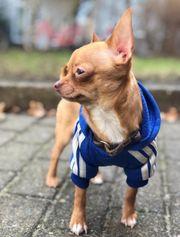 Mini Chihuahua Deckrüde Kein Verkauf