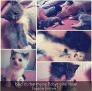 Ragdoll-Perser Kitten w m