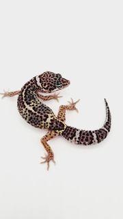 leopardgecko NZ 21