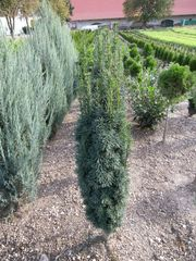 Taxus fastigiata robusta Alternative zu