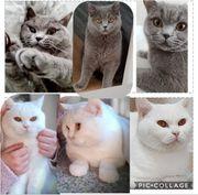Wurfankündigung Britisch Kurzhaar kitten grau