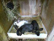junge Stallhasen - Kaninchen - eigene Zucht