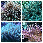 Meerwasser Korallen Seriatopora-Ableger 4 Arten