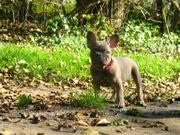 Französische Bulldog Hündin Blau Fawn