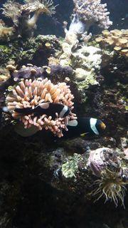 Sattel Anemonen Fische Zuchtpaar