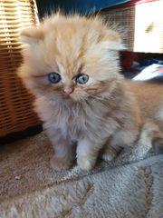 Süße Perser Katzenbabys Ab Dezember