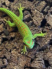 Phelsuma grandis großer Madagaskar-Taggecko