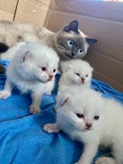5 BKH Jungs Kitten