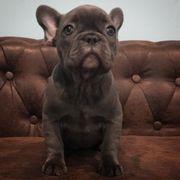 Französische Bulldogge Welpen Bully Frenchy