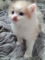 Mix Ragdoll Maine coon Kitten