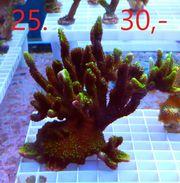 Meerwasser Korallen Update 2 4