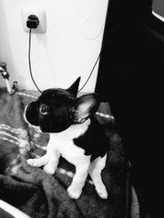 Cookie Französische bulldoge
