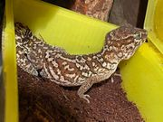 Großkopfgecko - paroedura picta 1 0