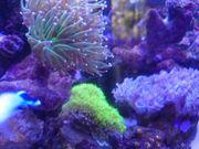 Korallenableger Nachzuchten