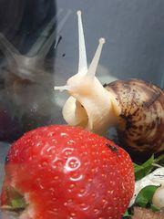 3 Afrikanische Riesenschnecken Achatina Reticulata