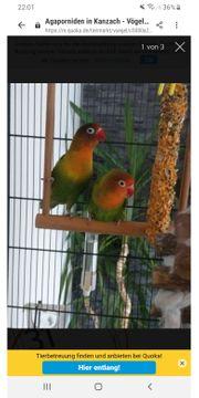 Liebes Vögel Inklusive Käfig zu