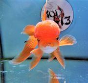 KOI 13 Anz 103 2020 Goldfisch -