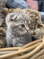 Britisch -Kurzhaar Kätzchen