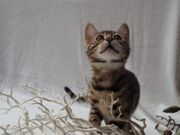 Bengal Katze Katerchen