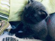 Scottish Fold Straight Katzenbaby