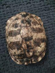 Gelbwangenschmuckschildkröte - Weiblich