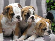 Englische Bulldoggenwelpen