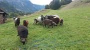 Tiroler Steinschaf Kilbern