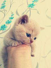 Bkh Kitten in der Farbe