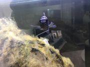 Blaupunktbuntbarsche abzugeben wegen Aquarium Auflösung