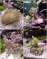 Verschiedene Korallenableger