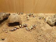 6 Leopardengeckos zu verkaufen