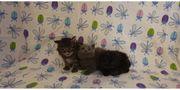 Main Coon -BKH Kitten