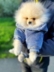 Pomeranian Boo Bärchen Typ