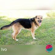 Ivo - Ein Optimist ohnegleichen