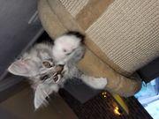 Wunderschöne Maine Coon Kitten abholbereit