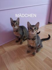 3 Abessinier Kätzchen