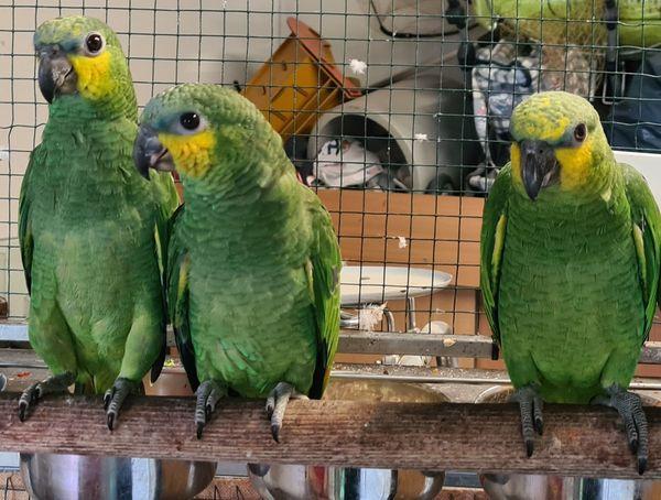 Venezuela Amazonen jung Naturaufzucht mit Menschenbegleitung