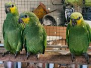 Venezuela Amazonen jung Naturaufzucht mit